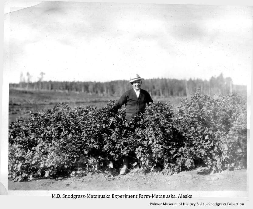 Image shows a man, identified as M.D. Snodgrass, standing among shrubby that appears to be berry bushes in the foreground, fields and forest are beyond.