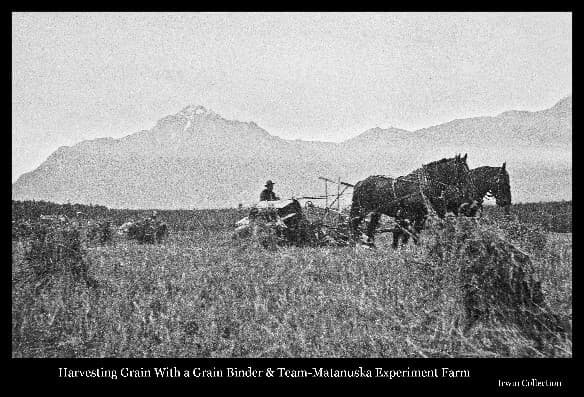 Image depicts a man riding a grain binder pulled by a two horse team with grain shocks in the foreground, buildings of the Matanuska Experiment Farm in near background, with Pioneer Peak & other Chugach Mountains beyond.