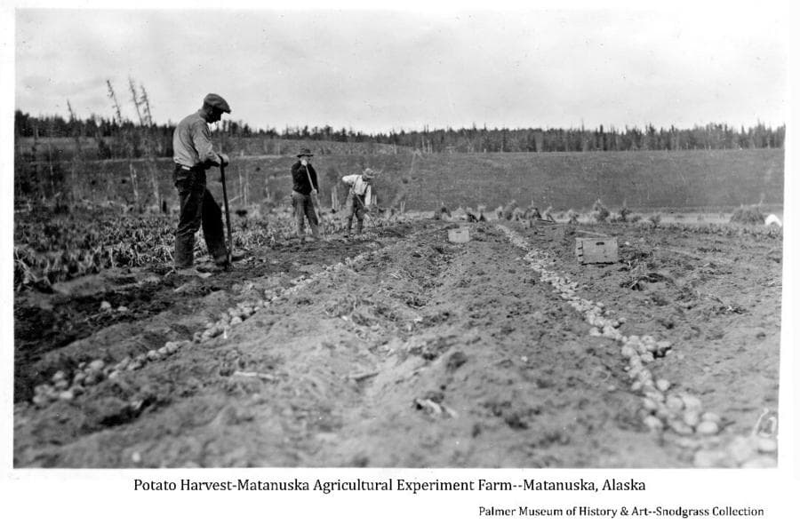 Image shows a partially harvested potato field with three men digging potatoes by hand using long-handled forks. Two rows of dug potatoes and several wooden tote boxes are evident in the foreground. A hay field with several haystacks is in middle ground and a bluff and forest are in background.