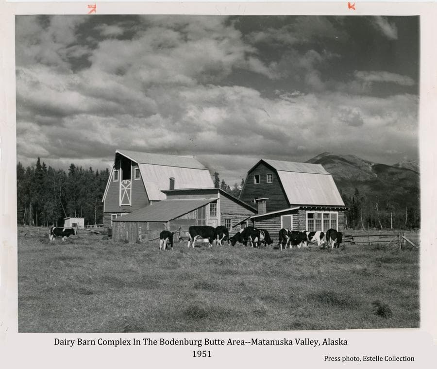 Image shows several dairy cows gathered in front of a typical Colony chicken house and another building.  Two Colony barns are prominent behind the other buildings.  Heavy forest and Lazy Mountain are visible beyond under a partly cloudy sky.