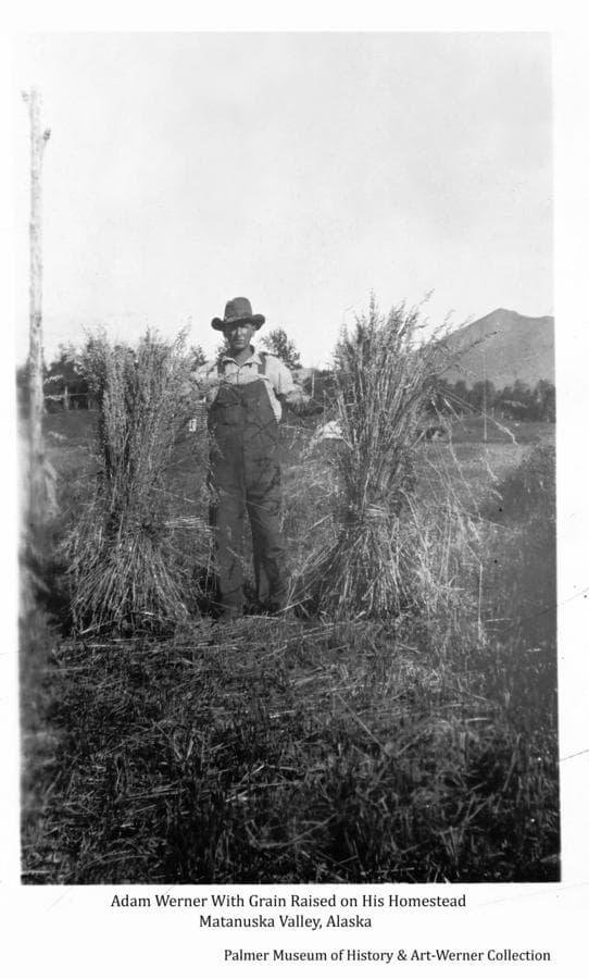 Image shows Homesteader Adam Werner standing in his field holding two shocks of grain.  A pole with insulators attached stands beside him and a small log building is partially visible behind.  Lazy mountain is in background.
