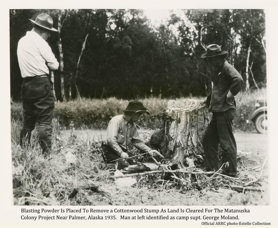 Image shows a man kneeling at a tree stump and placing explosives under it in preparation for blowing it up. Two other men stand watching.  The man on the left is identified as Matanuska Colony camp superintendent George Moland.  A narrow road and heavy forest are in middle ground beyond.  The front part of a car is visible on the road at right.