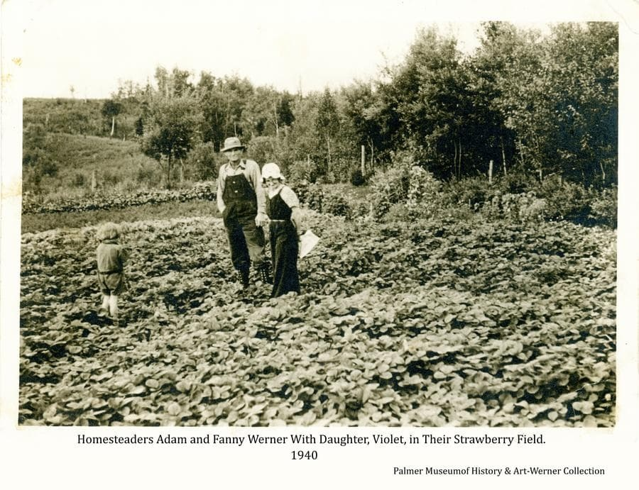 Image shows homesteaders Adam and Fanny Werner and their daughter, Violet, standing in their strawberry field.  Raspberry bushes and other crops are visible behind.  Heavy forest forms the backdrop.