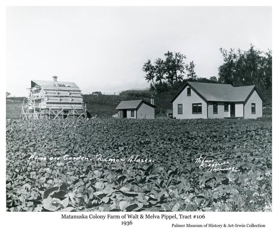 Image is a summer view of a colony house, barn and well house.  The barn roof is under construction.  A field of cabbage is in foreground.  The farmstead is identified as that of Colonists Walt and Melva Pippel on tract #106 near Palmer, Alaska.