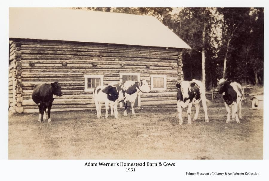 Image shows five cows standing in front of Adam Werner's homestead barn.  This was the barn he built on higher ground of the homestead when he moved from a lower area where he had initially constructed a house and other structures.  This barn still stands solid ninety years after it was built.
