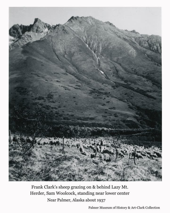 Image shows a flock of sheep grazing on the slopes of Lazy Mountain east of Palmer.  The sheep were owned by Frank Clark.  A man is evident standing among the sheep, identified as the herder, Sam Woolcock.