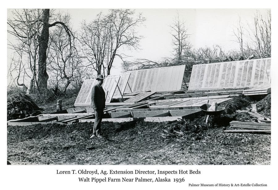 Image is a black & white view of Loren T. Oldroyd, Agricultural Extension Director with the University of Alaska, inspecting hot frames on Colonist Walt Pippel's farm.  The hot frames, filled with soil and planted early in the spring, were covered with window glass panels to capture and retain solar radiation to warm the soil and get a head start on the growing season.