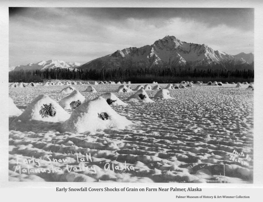 Image shows a field of harvested grain formed into shocks to dry and not removed from the field before an early snowfall covered them.  Pioneer Peak is prominent in background.  Grain left late into winter in this way tended to reduce the quality of the feed somewhat and often fell victim to predation by moose wintering in the valley.