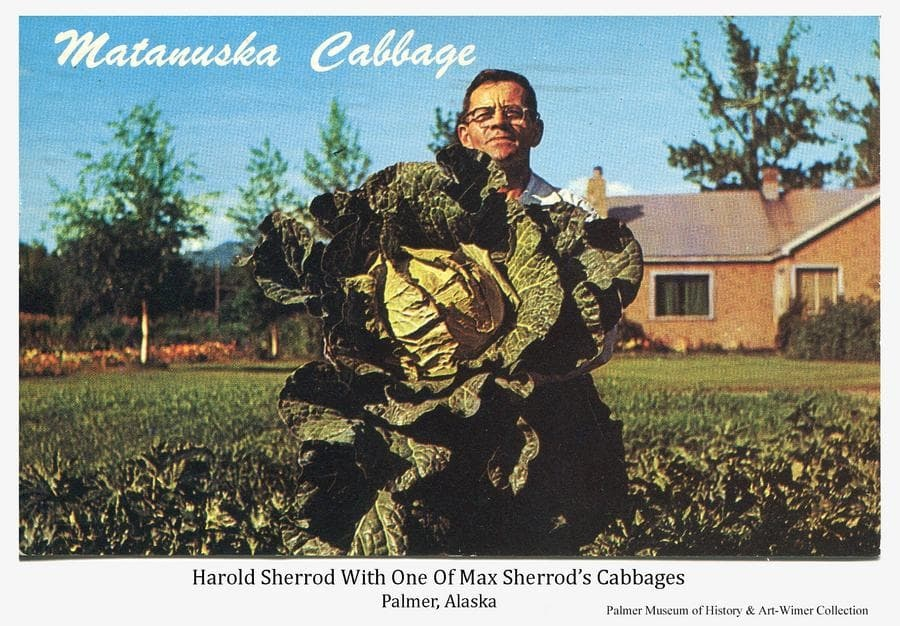 This is a summer color image of a man, identified as Harold Sherrod, holding one of the cabbages grown by his brother, Max Sherrod, at Palmer, Alaska.  Max & Dorothy Sherrod's house is behind.