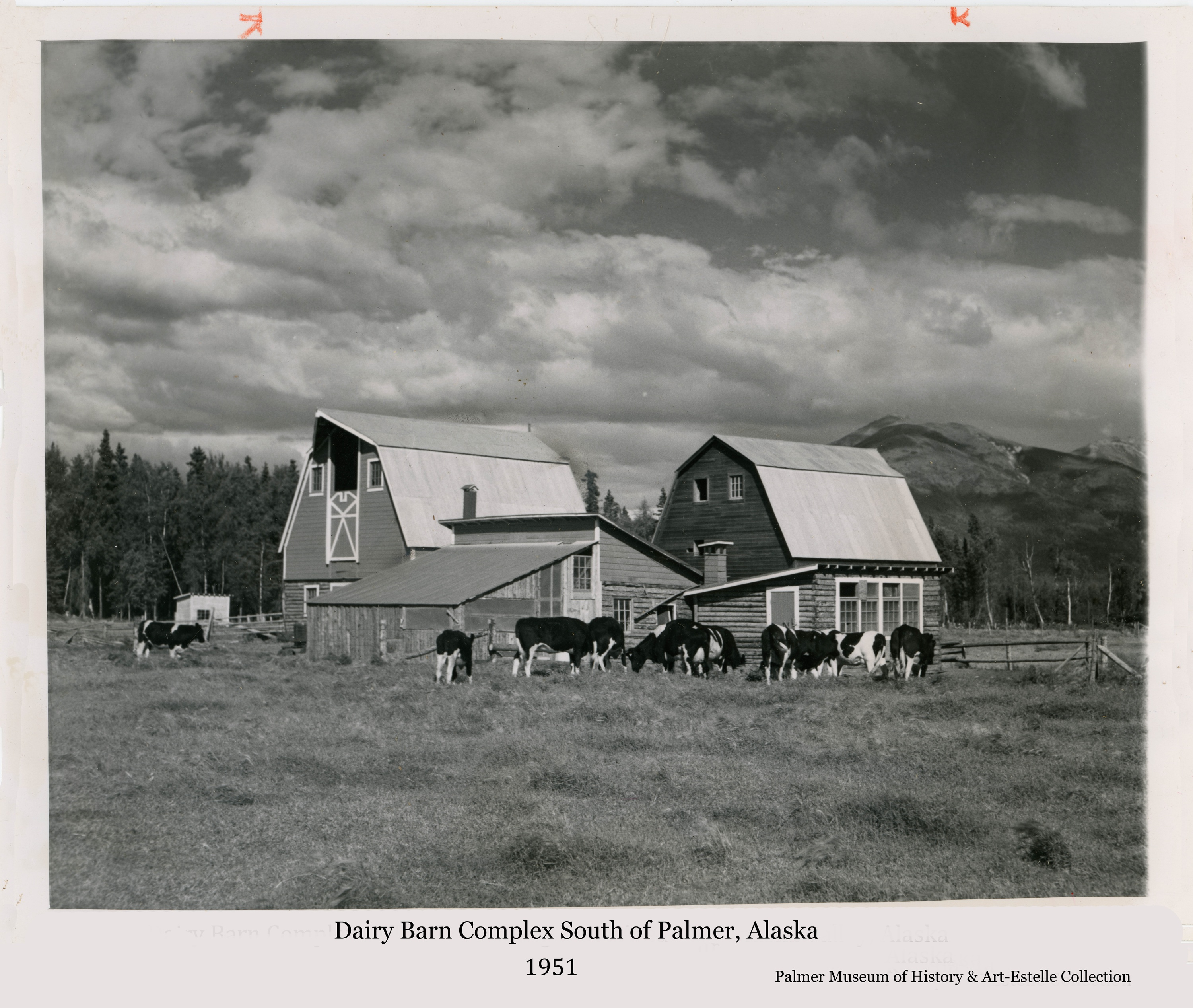 Press photo image shows several dairy cows gathered in front of a typical Colony chicken house and another building.  Two Colony barns are prominent behind the other buildings.  Heavy forest and Lazy Mountain are visible beyond under a partly cloudy sky.