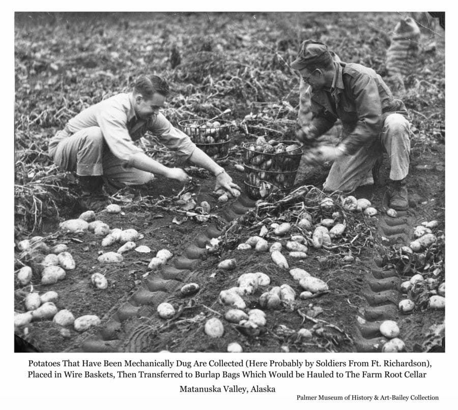 Image is of two men, likely soldiers on leave from Fort Richardson in Anchorage, hand picking potatoes.  The potatoes have been mechanically dug and are lying on the ground.  The men place the potatoes in wire baskets, visible next to them, which are then emptied into burlap bags, also visible behind them.  The filled bags will then be collected and hauled to the farm root cellar for storage and later processing.  Off duty soldiers often provided an important labor force to area farmers during the critical harvest time before the onset of winter.