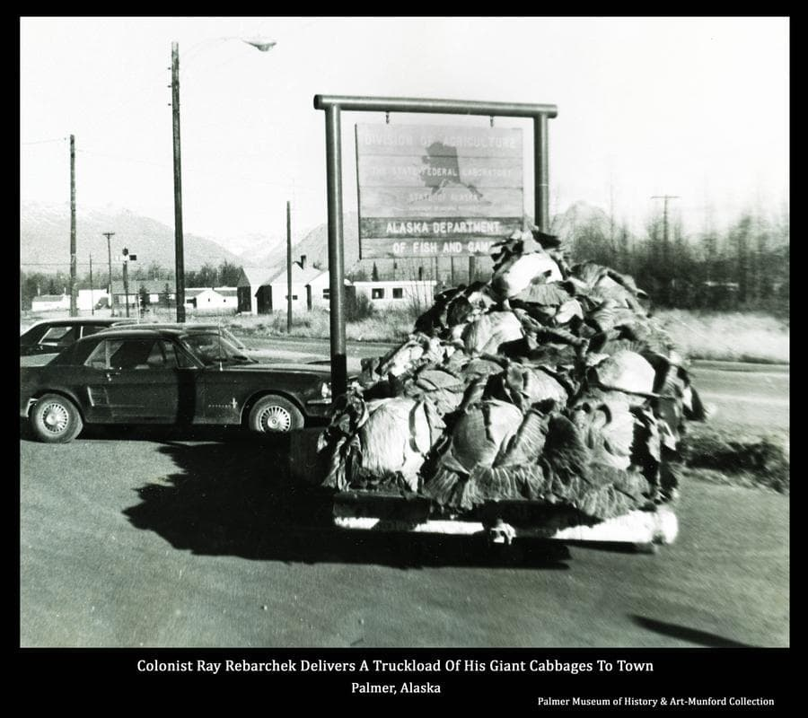 Image is a summer view of a pickup loaded with giant cabbages parked in downtown Palmer.  Location is at the corner of S. Alaska St. and W. Dogwood Ave. in front of a sign indicating occupants of the building out of sight to the left.  The cabbages were grown by Colonist Ray Rebarchek on his farm south of Palmer.  For several years Rebarchek and Max Sherrod competed actively to see who could grow the biggest cabbage for display at the Valley Fair in September.
