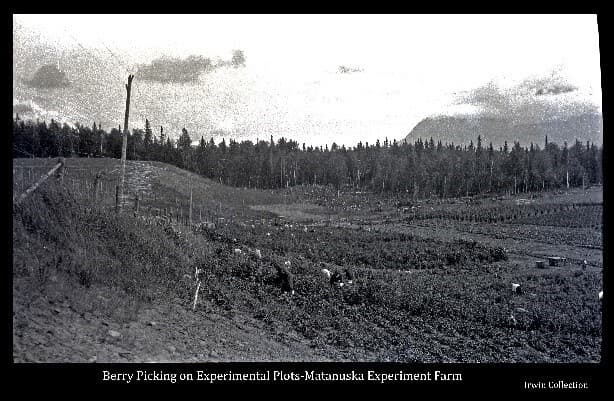 This image shows hillside test plots of various types of berries at the Matanuska Experiment Farm and numerous women in the act of harvesting the berries. Additional test plots and newly cleared land beyond.
