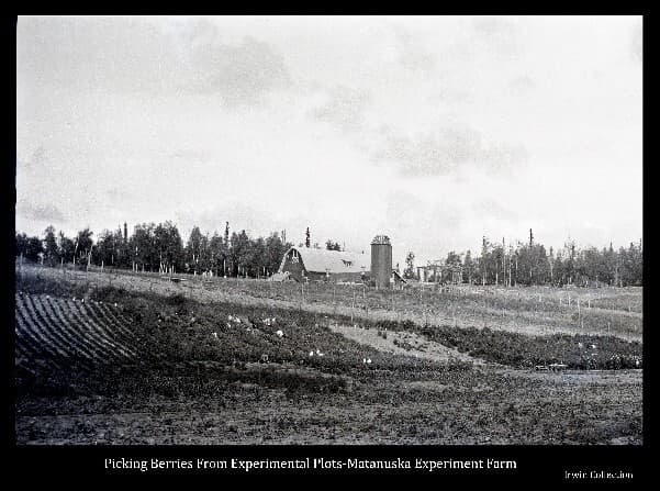 This image shows hillside test plots of various types of berries at the Matanuska Experiment Farm, and numerous women in the act of harvesting the berries. Additional test plots are in the foreground. The barn, silo & other buildings of the farm are beyond.