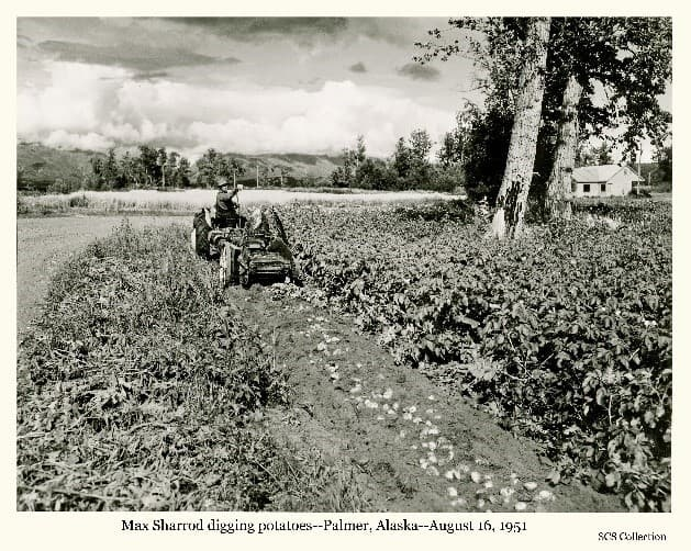 Image shows a man, identified as Max Sharrod, digging potatoes with his Ford tractor pulling a potato digger on his farm in north Palmer. Sharrod's house is visible behind two large cottonwood trees and a grain field is visible in middle ground. Trees, Talkeetna mountains and clouds are in the background.