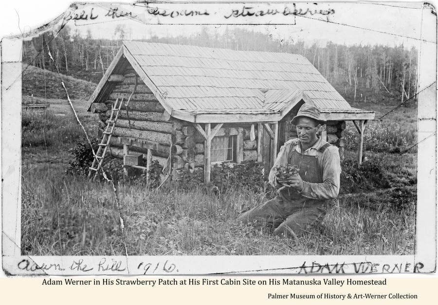 """Image shows homesteader Adam Werner in his strawberry patch in front of his cabin located at its first location on his homestead """"down the hill"""".  Cleared land surrounds the cabin with heavy forest beyond."""