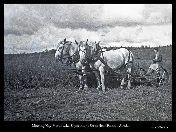 Image shows a team of two white horses hitched to a mower in a field of hay in the process of being mowed. Sitting on the mower is a woman in a dress and sweater, holding the reins.