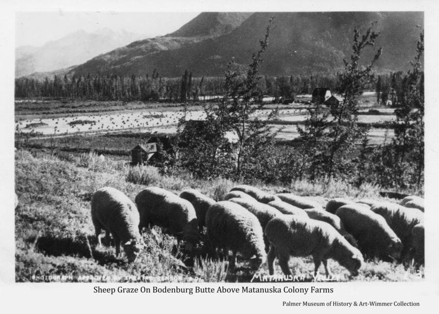 """Image is of a band of sheep grazing on the side of Bodenburg Butte above Colony farms visible below and beyond.  While the date, and by whom, the photo was taken is uncertain, the note in the lower left corner, """"Photograph approved by theater sensor ADC"""", indicates it was during the time of WW II and may have been produced for commercial circulation."""