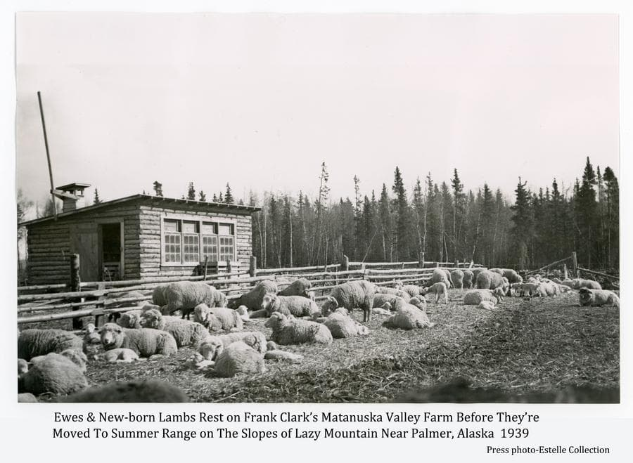 Image shows a springtime scene of ewes and new-born lambs inside a pole fence on Frank Clark's Matanuska Valley farm.  A log chicken house is in middle ground with heavy forest beyond.  Clark summered his flock on the slopes of Lazy Mountain east of Palmer.