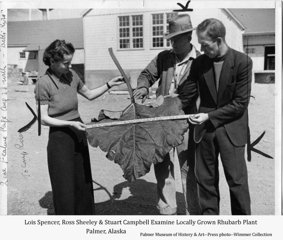 This summer press photo shows three people, identified as Lois Spencer (left), Ross Sheeley (center) and Stuart Campbell (right) holding a large rhubarb stem and leaf as they measure it.  They are standing in front of the new creamery building in Palmer's community center.  Marks on the photo indicate where it would be cropped before printing in the newspaper.