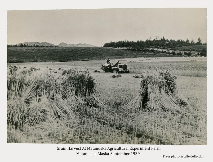 Image shows grain being harvested on the Matanuska Agricultural Experiment Farm.  Grain bundles formed into shocks are in foreground.  A cat tractor is pulling a grain binder, cutting standing grain in the field at middle ground. One man is on the tractor, another rides the binder. Bundles of cut grain are evident on the ground in middle ground and additional shocks are visible in far middle ground.  A hillside with a road cut and trees is in background with mountain tops visible beyond.
