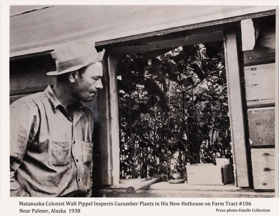 Image shows Matanuska Colonist Walt Pippel inspecting his cucumber plants through a window in his new hothouse on his Colony farm, tract #106, north of Palmer, Alaska.