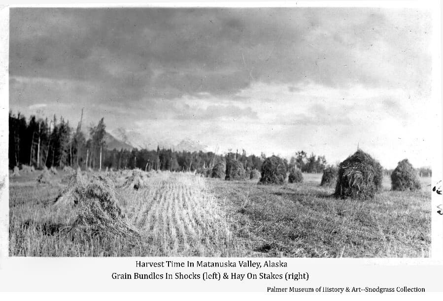 Image shows a field (probably at the Matanuska Experiment Farm) of harvested grain formed into shocks at the left & harvested hay formed into stacks on vertical poles at right. Forest is in middle ground & mountains in background.