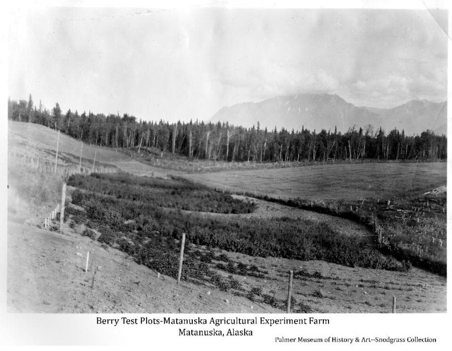 Image shows berry test plots in foreground & middle ground surrounded by chicken wire fence on wood posts. Newly cleared ground & stumps show in the right foreground with a planted field in middle ground. Forest occupies far middle ground, mountains in background.