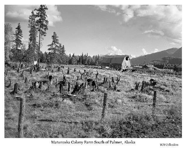 """Image shows a wire fence in foreground, numerous high tree stumps with several cows intermingled in the middle ground. Two typical Colony barns and other buildings are beyond with Bodenburg Butte and other mountains and forest in background. Caption: """"Cows in stump pasture. One of the steps in land clearing."""""""