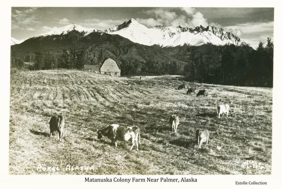 Image shows a group of dairy cows in a field in foreground, a Colony barn and other buildings near a group of trees in middle ground with snow-clad mountains in background.  This farm is located on Colony tract #169 bordering the Palmer-Fishhook road north of Palmer.