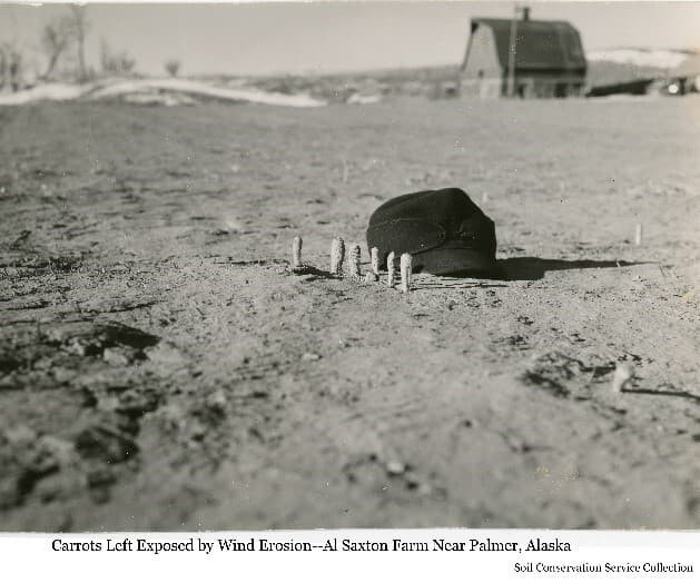 Image shows a winter scene of several carrots in foreground sticking up from the soil indicating wind eroded the soil from around them. A black hat is nest to the carrots for scale. A typical Colony barn is in background across a barren field. Patches of snow are evident in the background.Farm identified as that of Al Saxton.