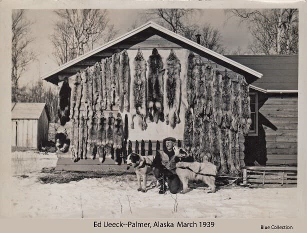 """Image depicts Alaska trapper Ed Ueeck kneeling with his two sled dogs below a display of his winter's catch of furs hanging on the gable end of a house. Furs include coyote, wolf, wolverine, lynx, fox and martin. One dog, """"Pinkie,"""" identified as a 120 lb Diomede husky, is hitched to an upturned sled. The other dog is not identified."""