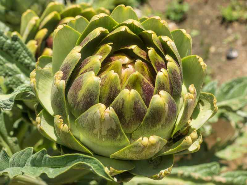 Globe Artichokes with Melted Butter