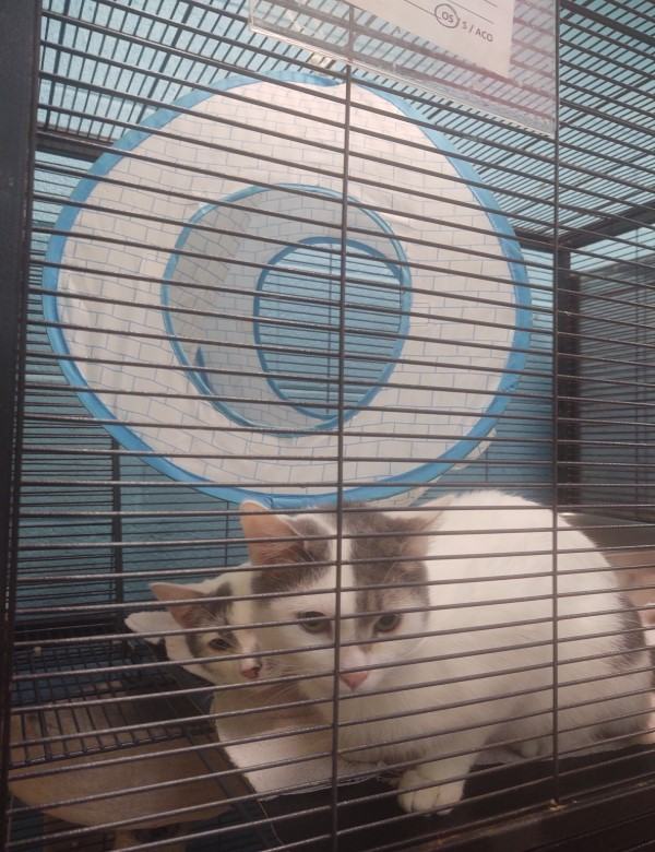 June Bug, a white and grey cat sharing a kennel with another cat that looks like his splitting image (perhaps they're twins?)