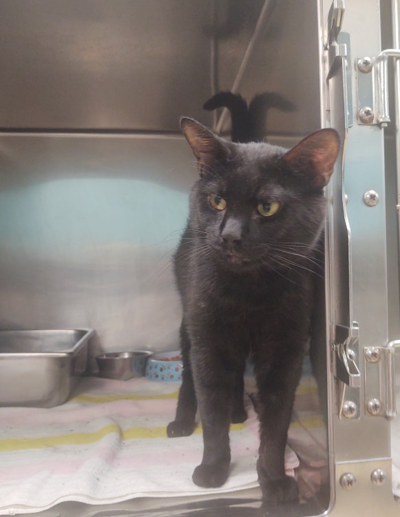 Walker, a two year old black cat with yellow eyes, stepping outside of his kennel at the shelter so he can get loved on