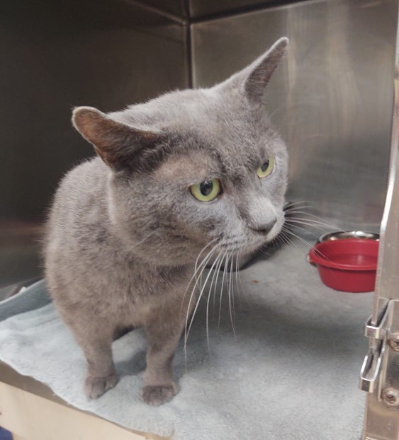 Taylor, a two year old grey cat with green eyes, standing inside her kennel which has a red food bowl in the back