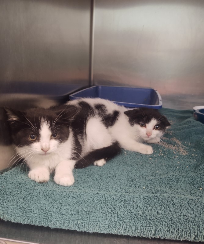 Lena and Lonnie, a pair of two month old black cats with big white spots, laying in a kennel together at the Kingsport animal shelter
