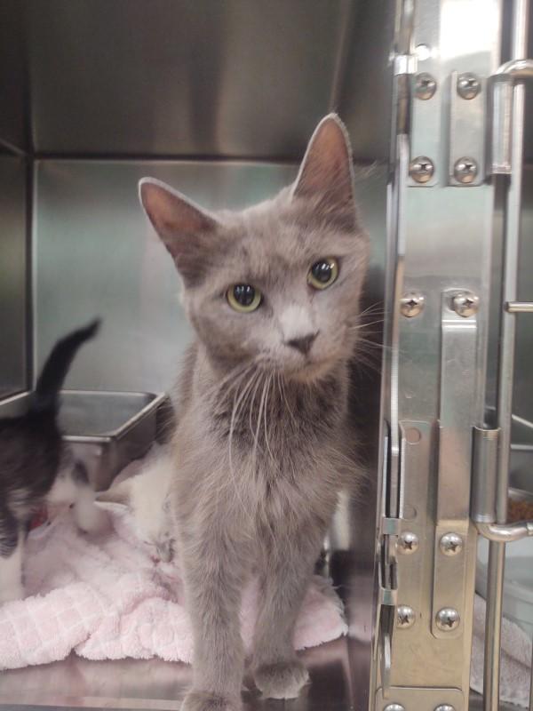 Grey cat with green eyes staring at the camera