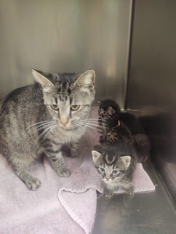 A gray tabby cat with her three newborn kittens, looking proud because she made beings