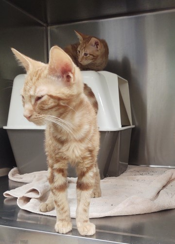 Two orange cats: one right in front of the camera and another laying on top of its litter box, Snoopy style