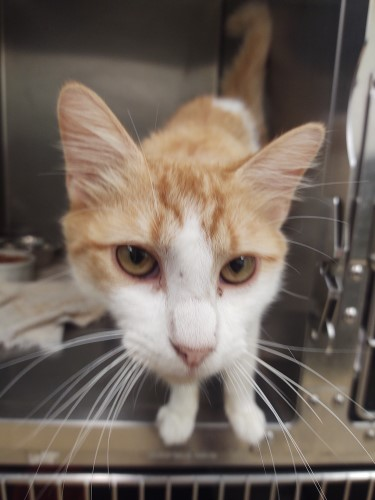 """Orange and white domestic house cat sticking its head forward as if to give Daniel Wallen a friendly """"boop"""""""