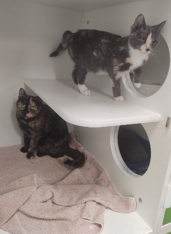Two dilute tortie cats at Petworks animal shelter in Kingsport, TN.