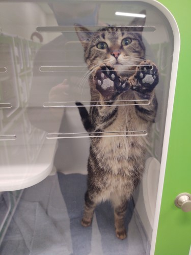 Gray cat sticking his paws against the plastic window-like surface of his green kennel that resembles a cabinet at Petworks animal shelter in Kingsport, TN