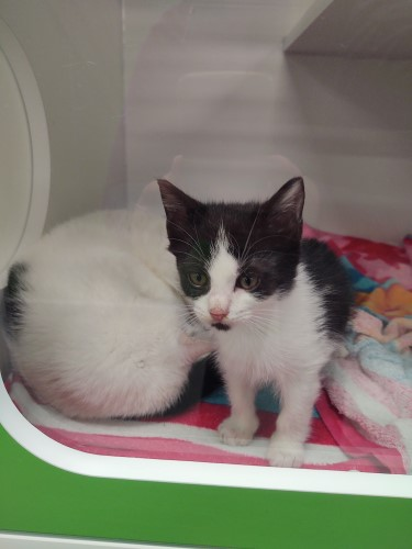 A white kitten snuggled up next to an older cat, which is also white (but her face isn't visible) at Petworks animal shelter