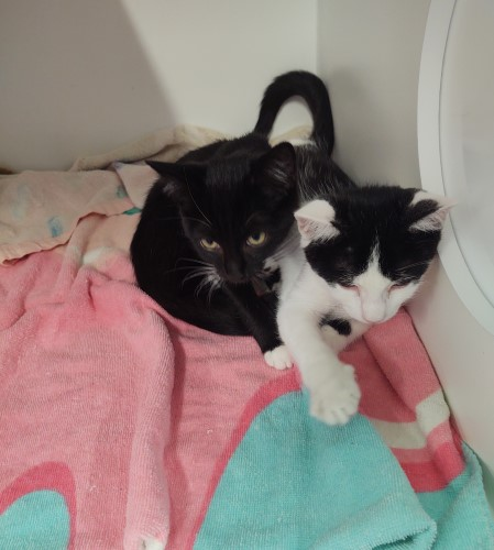 Young black cat snuggling with a white + black cat on a pink and blue blanket placed inside the cat kennel at Petworks Kingsport Animal Services