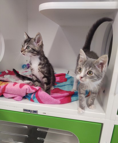 Two attentive and young gray tabby cats posing with a playful posture at Petworks in Kingsport, TN
