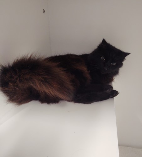 Whoopie the fluffy black cat, who's ten years old and as relaxed as shelter cats come