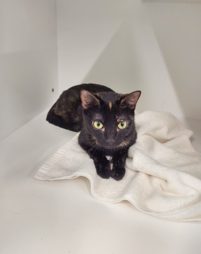Young black and brown shelter cat named Kit Kat at Petworks Kingsport Animal Services in northeastern Tennessee