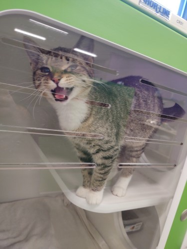 """Addison, a gray and brown tabby cat hanging out inside his """"apartment"""" like kennel at the animal shelter called Petworks in Sullivan County of Kingsport, TN"""