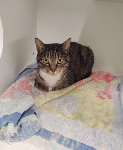Grey cat with green eyes resting on a colorful blanket at the shelter